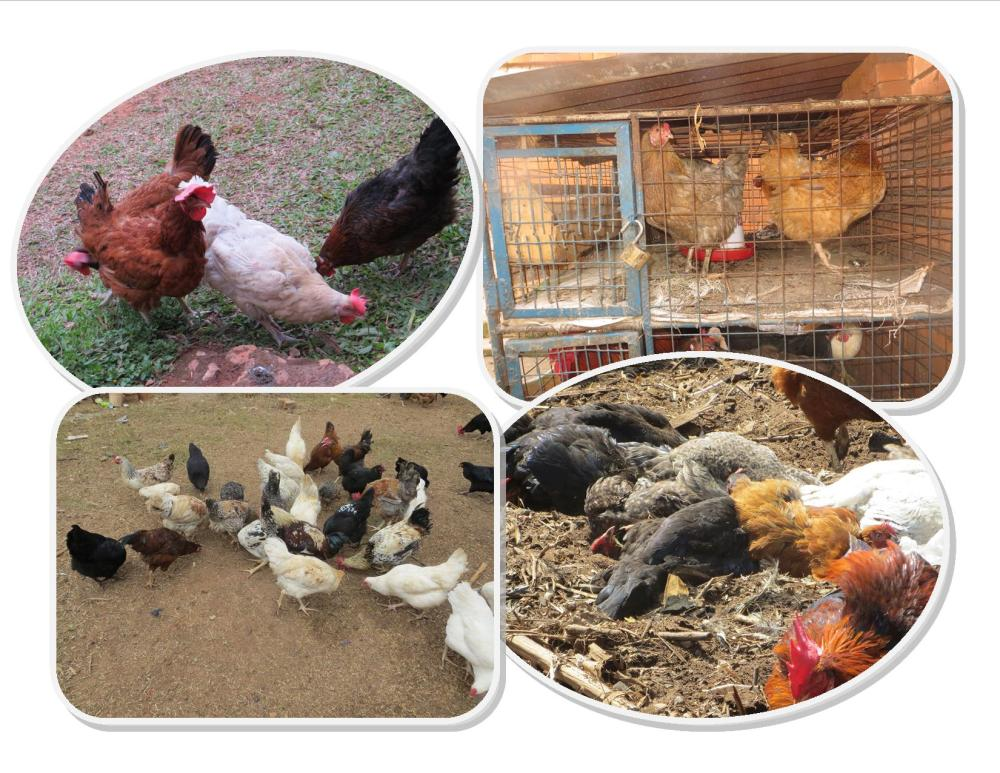 Small-Scale Commercial Caged Poultry Keeping for supporting Poor Rural Child Education and Nutrition needs.