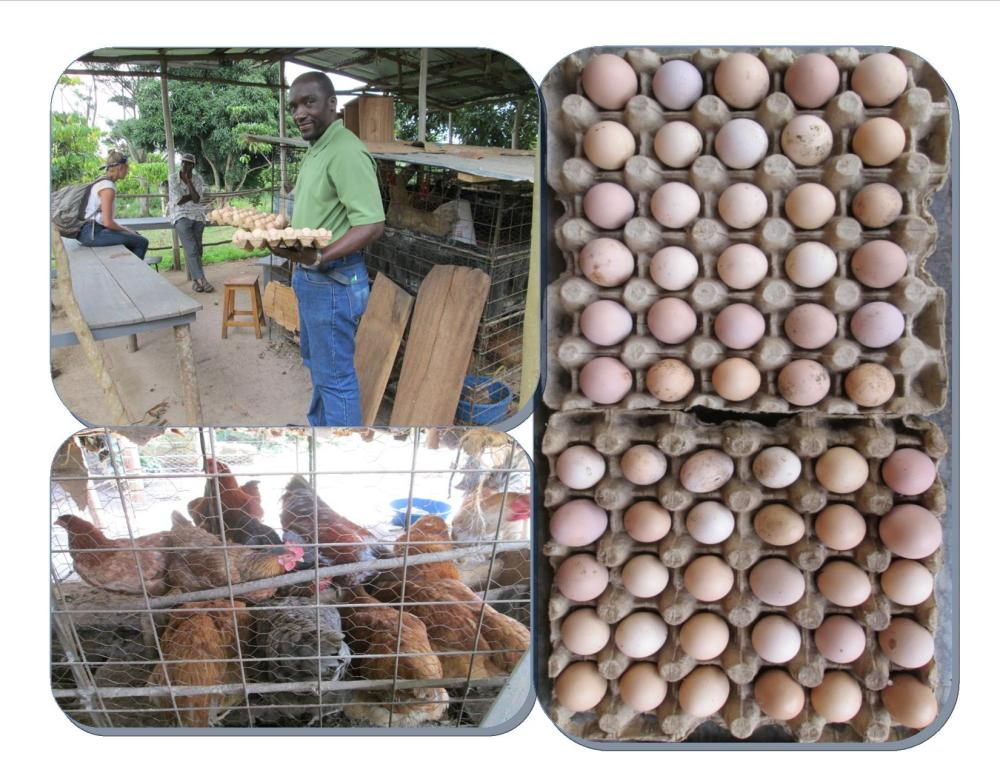 KIRUCODO-Bluebonnet Hills-Sponsored Caged Poultry Keeping; Hens now laying eggs and cocks on sale