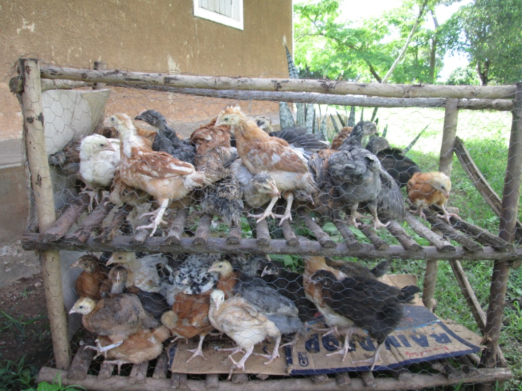 Caged Poultry Keeping | Rural Africa Facts